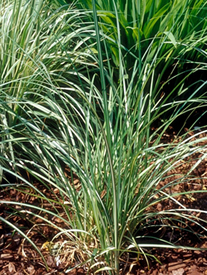 Carex Riparia